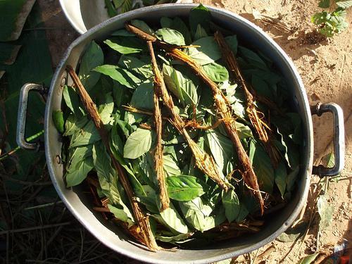 Der Pflanzensud wird aus der Rinde der Liane Banisteriopsis caapi und roten Blättern des Kaffeestrauchgewächses Psychotria viridis hergestellt