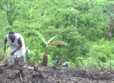 Angehörige der Garifuna-Gruppe in Honduras bei der Landarbeit