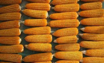 Transgener Mais soll in Kuba höhere Erträge erzielen