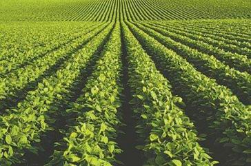 Bereits im Jahr 2012 wurden in Südamerika rund 50 Millionen Hektar transgene Soja angebaut, Tendenz steigend