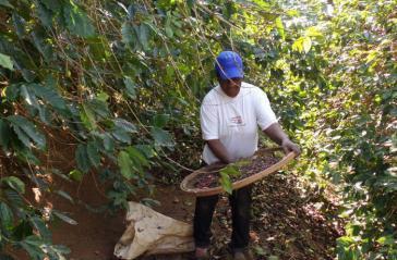Vor allem in der Kaffeeernte kommt es immer wieder zu Fällen von sklavenähnlicher Arbeit. 2015 musste Nestlé einräumen, von solchen Plantagen Kaffee bezogen zu haben.
