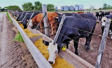 """Als """"Feedlots"""" werden die riesigen Freiluftstallungen bezeichnet, in denen unter anderem in Argentinien Rinder gemästet werden"""
