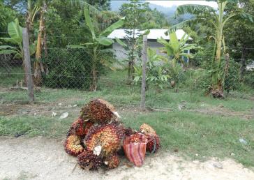 Eine neue Studie analysiert die Situation der Palmölproduktion in Mexiko