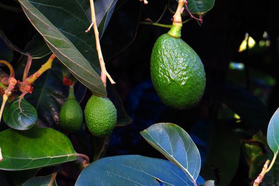 Chile leidet unter den Folgen des internationalen Avocado-Booms